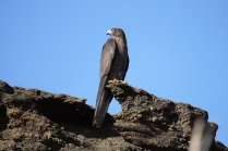 A dark female sitting near her nest