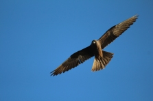 A flying dark male