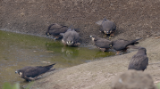 Eleonora's falcons usually drink and bath in fresh water sources near the breeding colonies