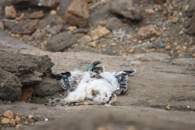 Other vertebrates (Gallotia atlantica) take advantage of famines killing Eleonora's falcons