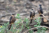Falcons-perched