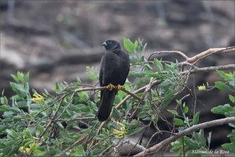 Perched-dark-male